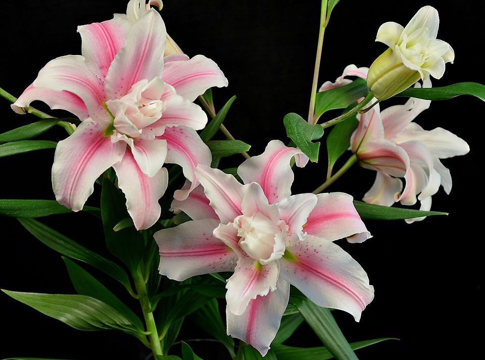 Picture of Roselily PINK