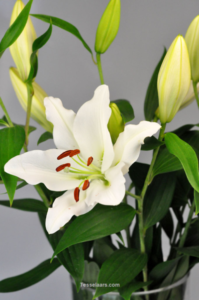 Picture of Oriental White G.H.
