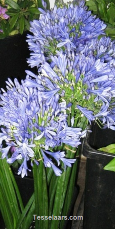 Picture of Agapanthus BLUE