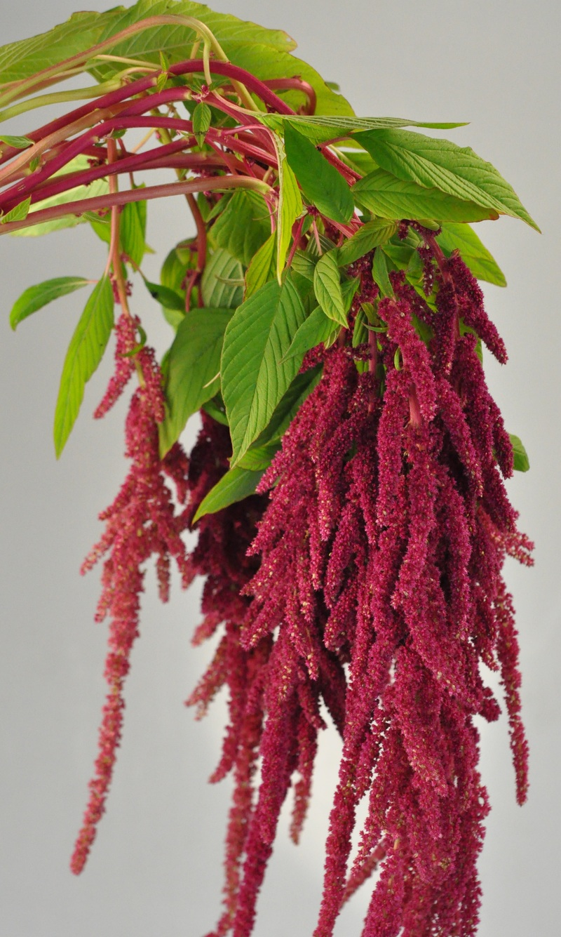 Picture of Amaranth Hanging