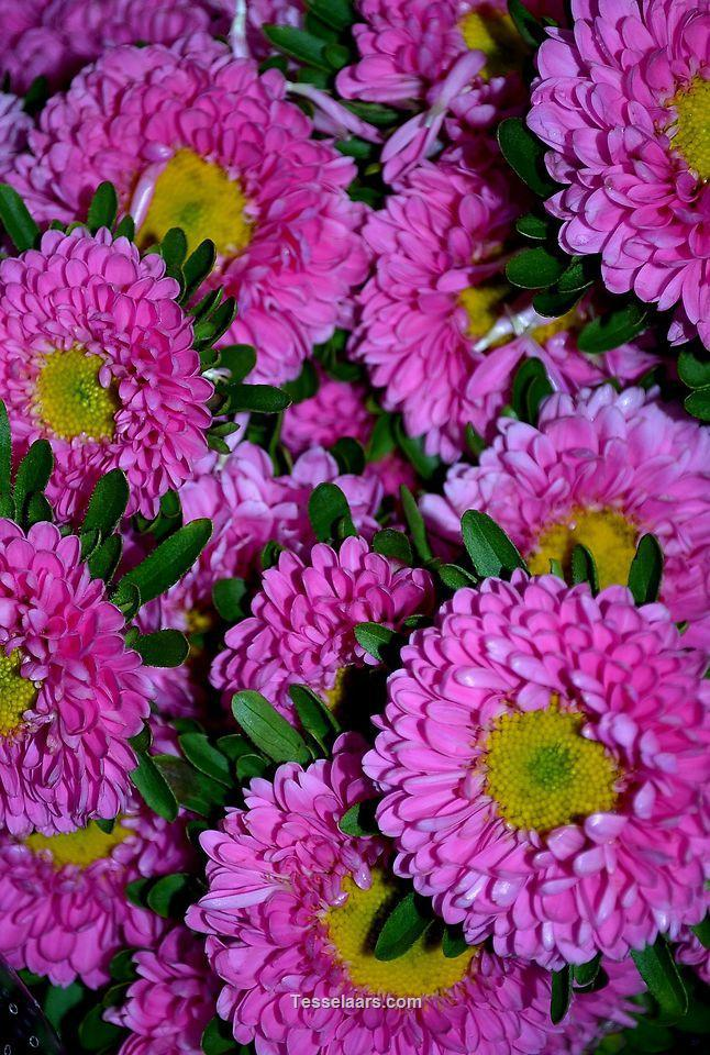 Picture of Asters