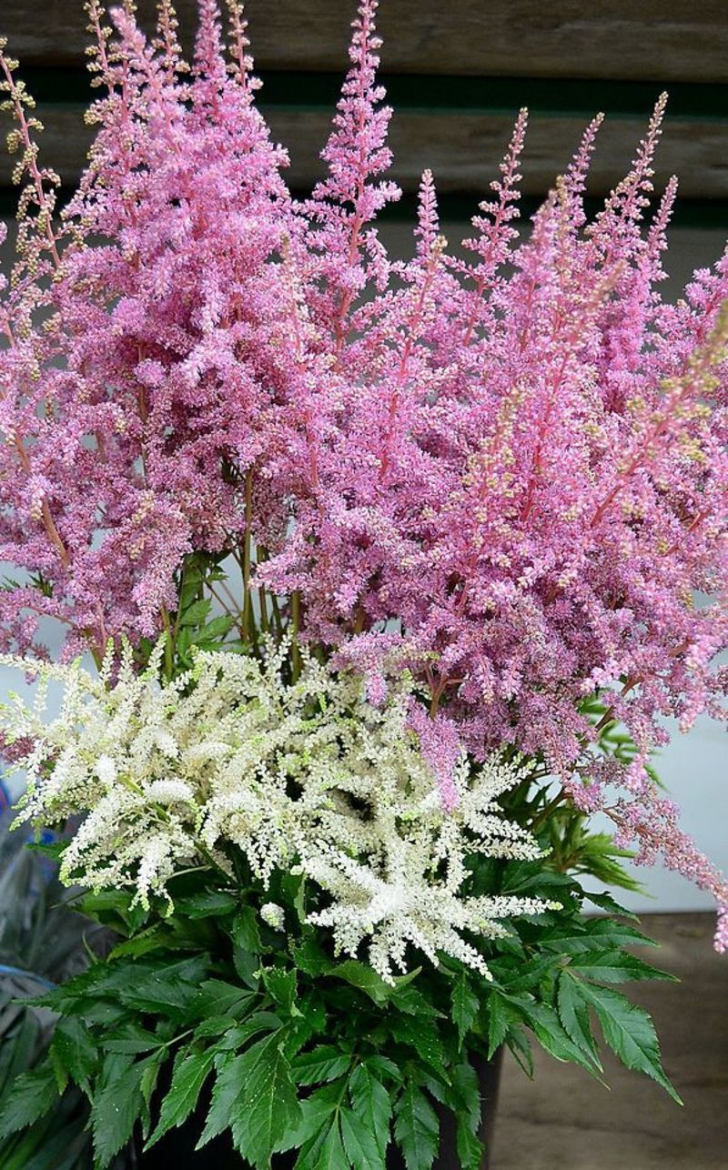 Picture of Astilbe