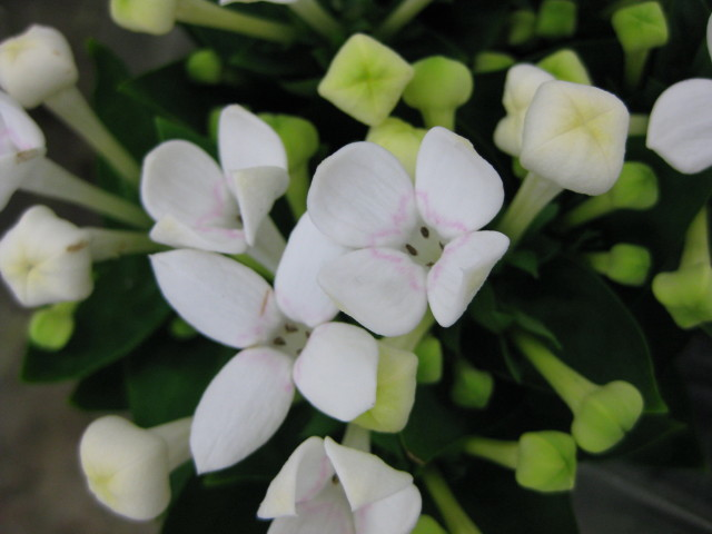 Picture of Bouvardia WHITE