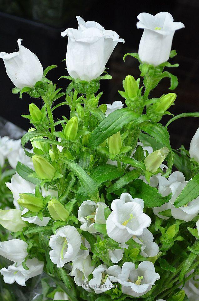 Picture of Canterbury Bell