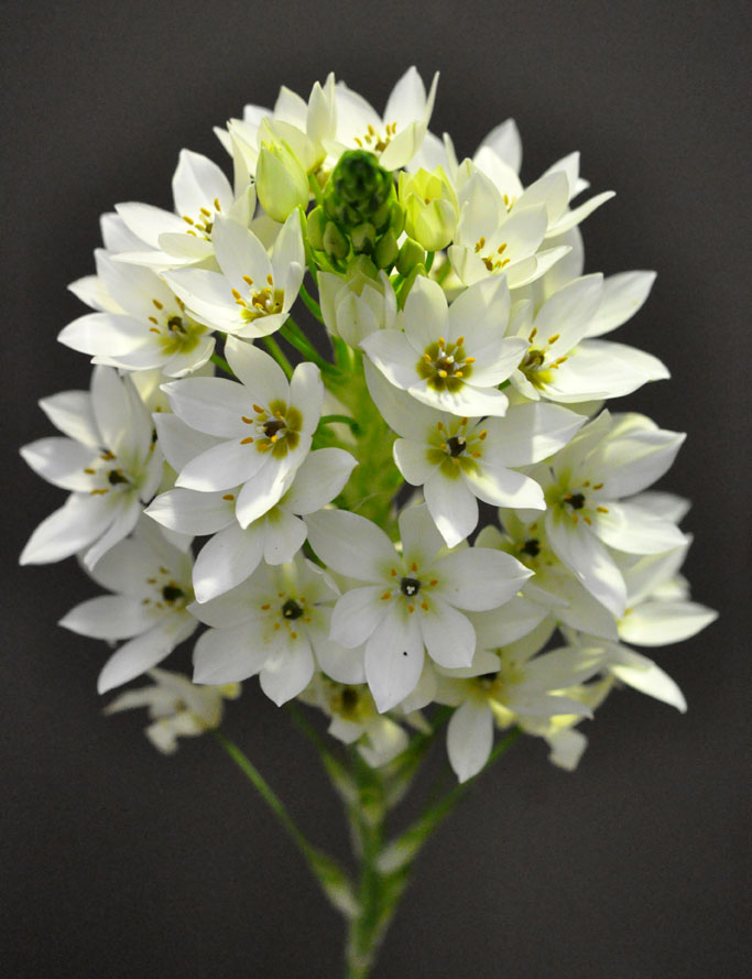Picture of Chincherinchee