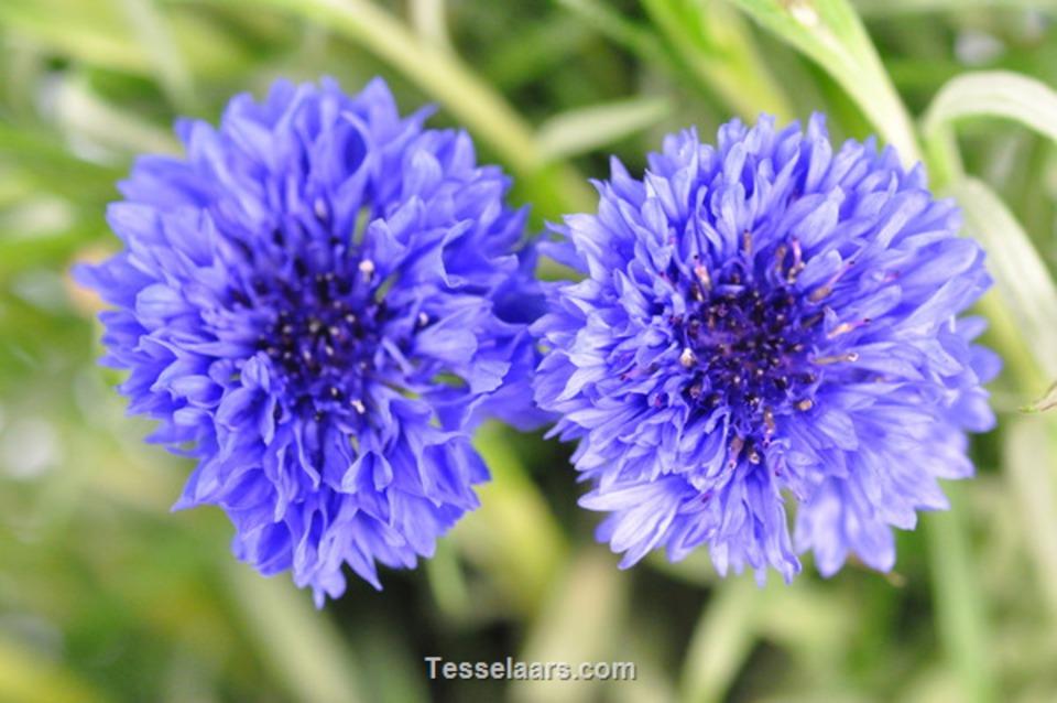 Picture of Cornflower