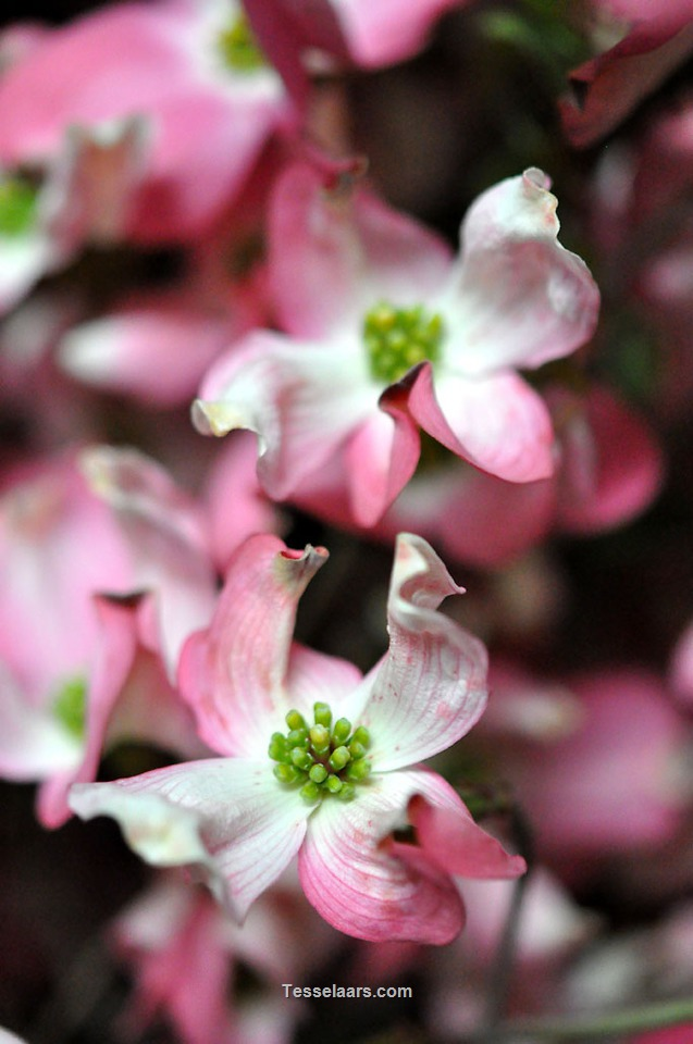 Picture of DOGWOOD