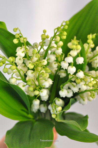 Picture of Lily of the Valley