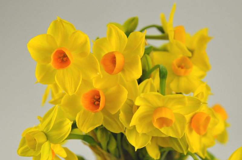 Picture of Jonquils