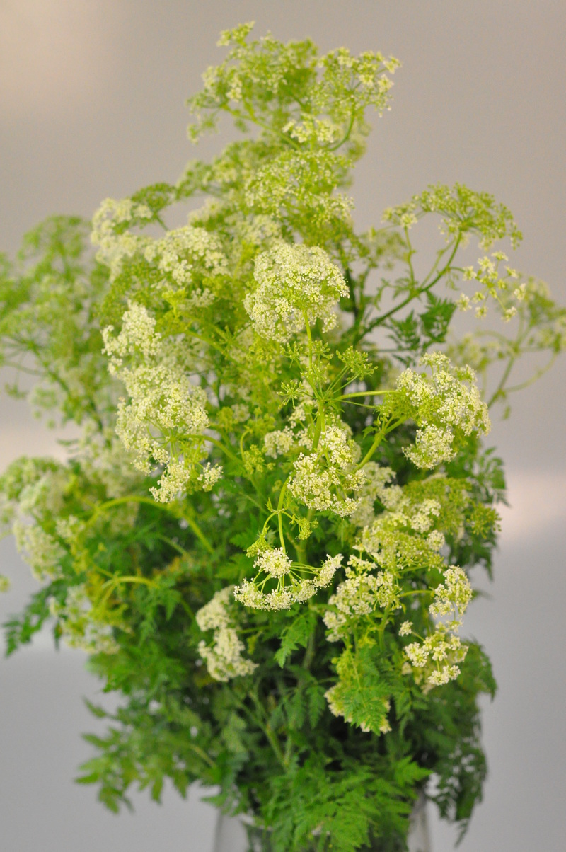 Picture of Queen Ann Lace