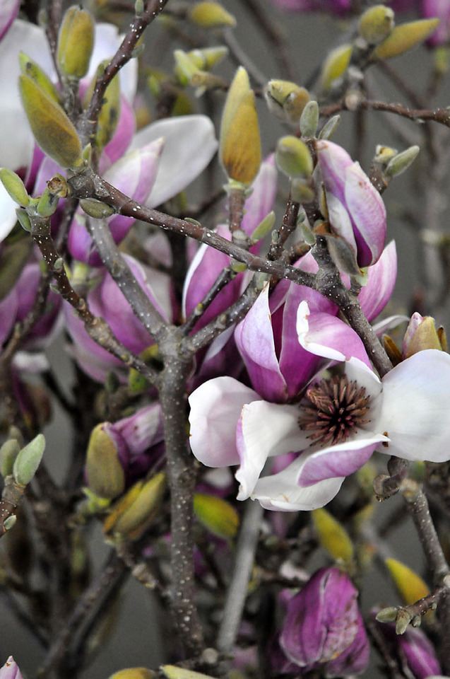 Picture of Magnolia Budding
