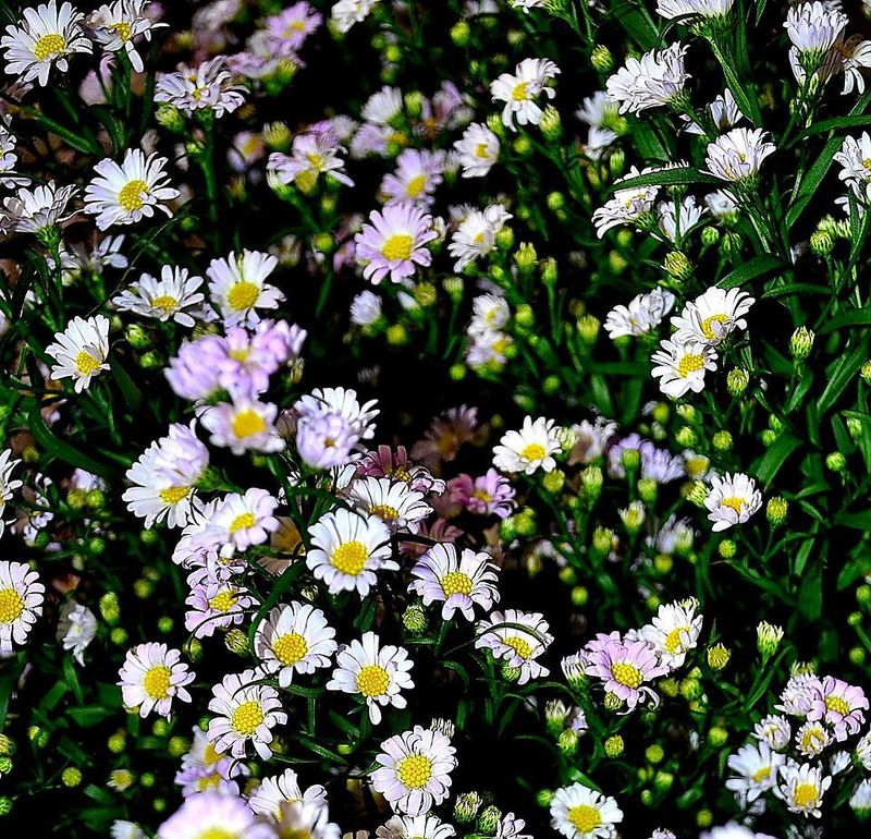 Picture of Easter Daisy