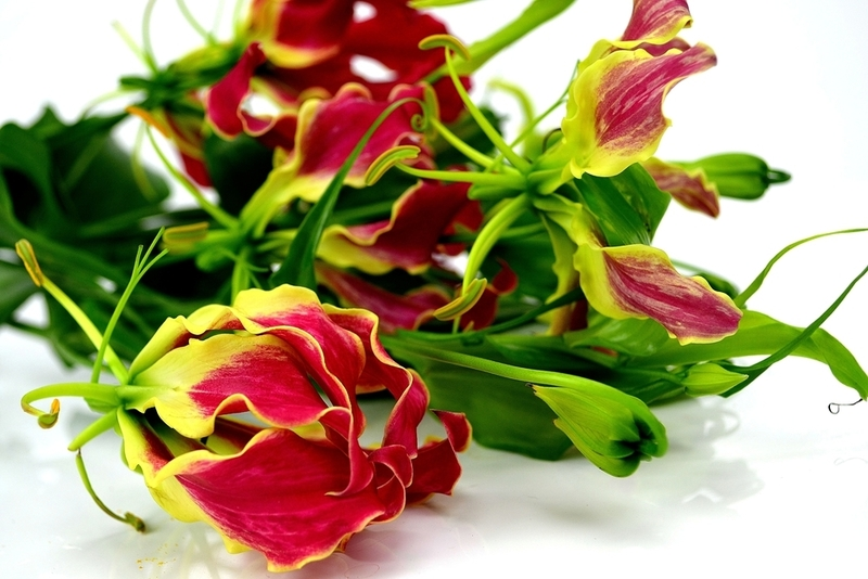 Picture of Gloriosa MED
