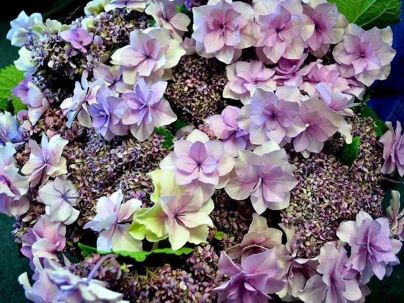 Picture of Hydrangea Large