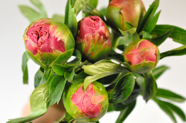 Picture of Peony-Pale Pink