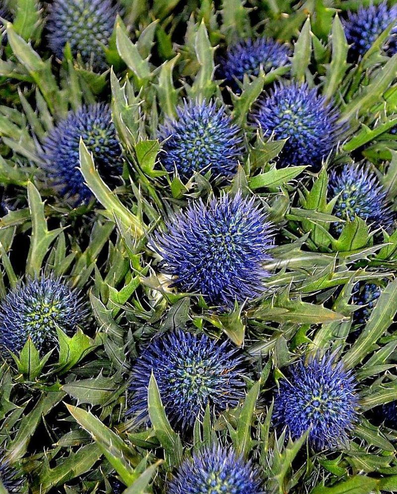 Picture of Eryngium/Sea Holly