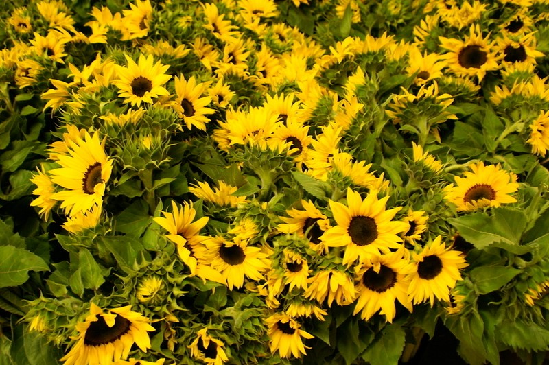 Picture of Sunflower Blk Face