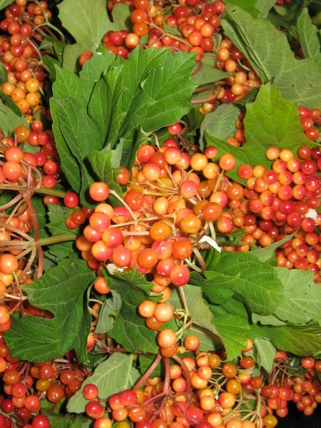 Picture of Berry Viburnum