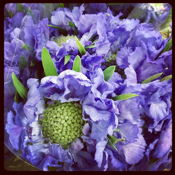 Picture of Scabiosa