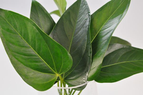 Picture of Anthurium Leaf