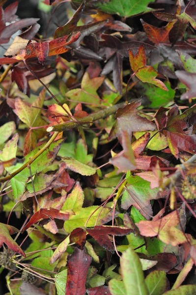 Picture of Autumn Foliage