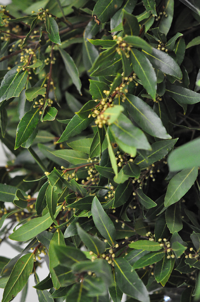 Picture of f_Bay Leaves