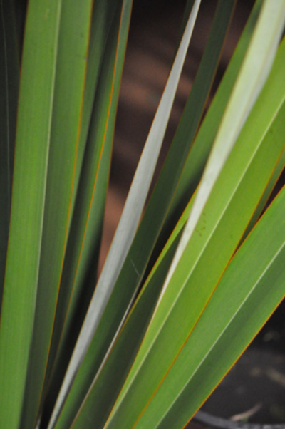 Picture of Flax Leaves