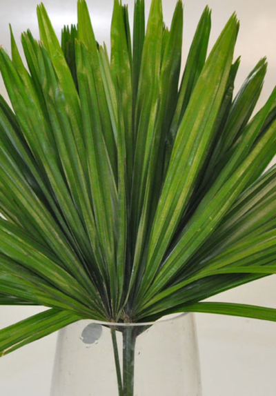 Picture of Raphis Palm
