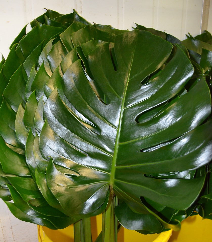 Picture of Monsteria LGE Leaf