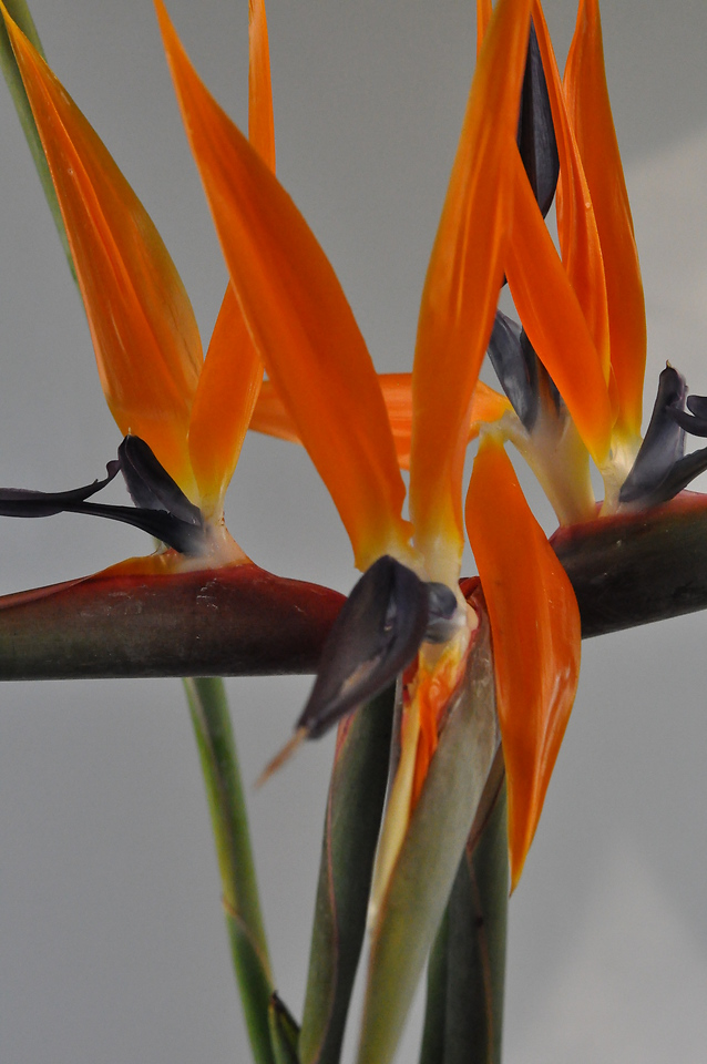 Picture of Birds of Paradise