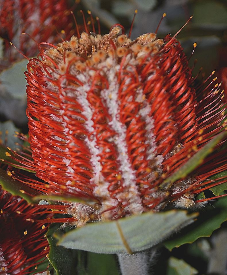 Picture of Banksia Coccinea x5