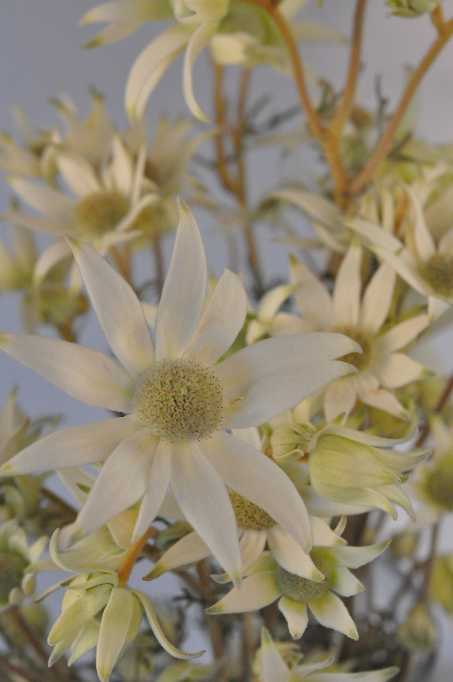 Picture of Flannel Flower