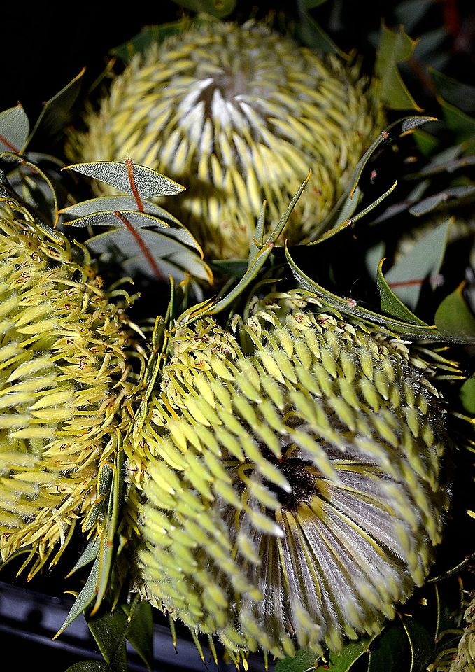 Picture of Banksia Baxterii x5