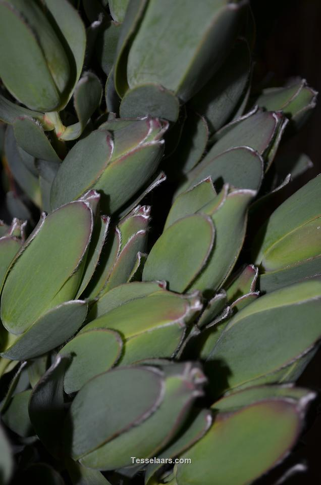 Picture of Leuc Silver Leaf