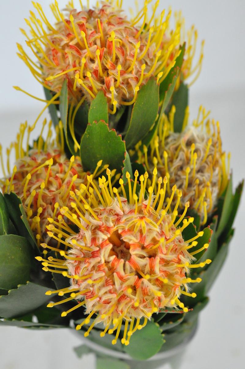 Picture of Leucospermum