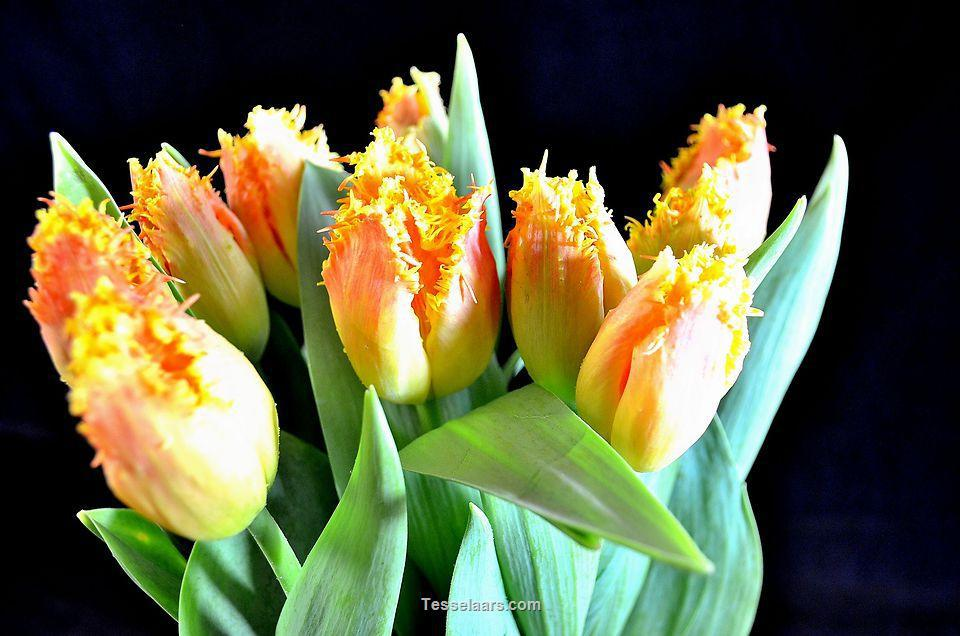 Picture of Tulip Elite