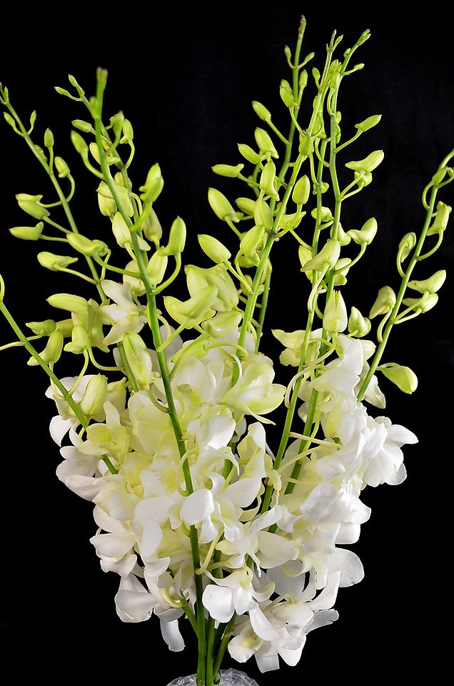 Picture of Orchid White XLGE