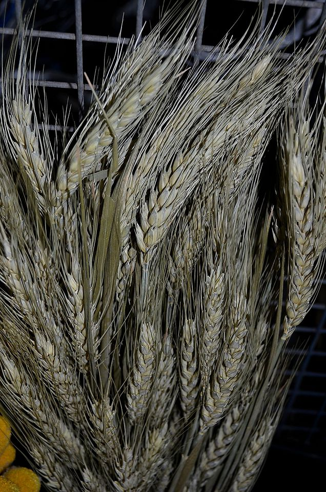 Picture of Wheat ~DRY~