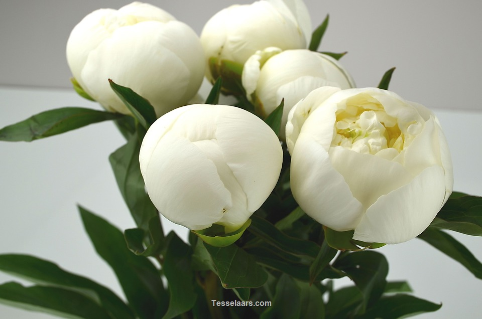 Picture of Peony-WHITE