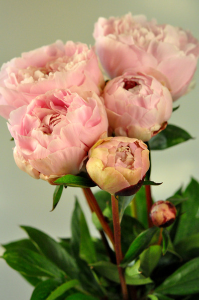Picture of Peony-Mid PK