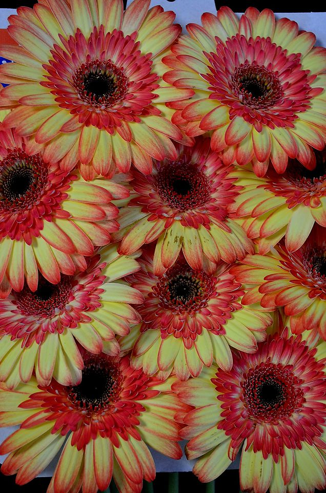 Picture of Gerbera AA