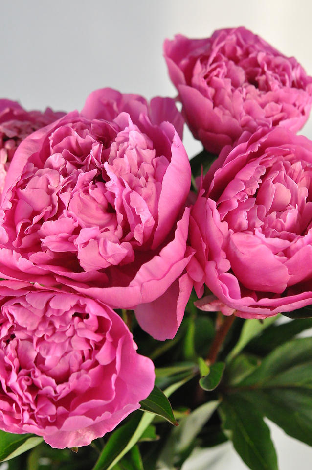 Picture of Peony-Hot Pink