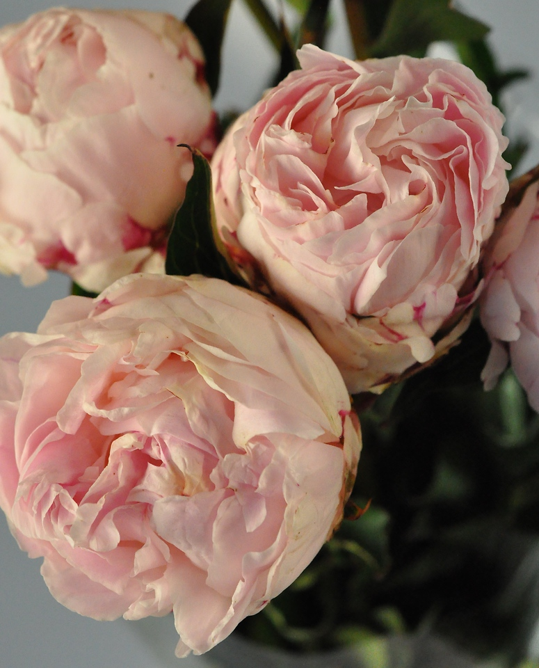 Picture of Peony-Sarah B