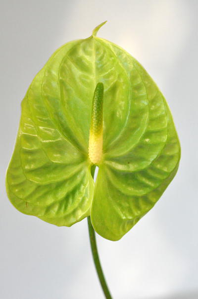 Picture of Anthurium LGEx5