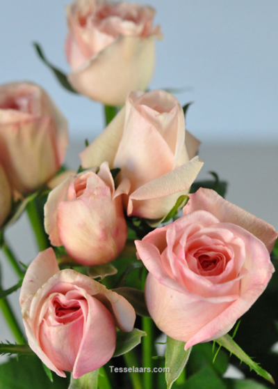 Picture of Rose Tenderness