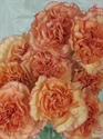 Picture for category Carnations