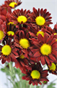 Picture for category Chrysanthemums