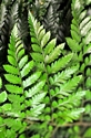 Picture for category Ferns