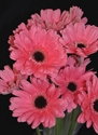 Picture for category Gerbera