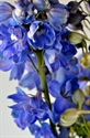 Picture for category Delphiniums